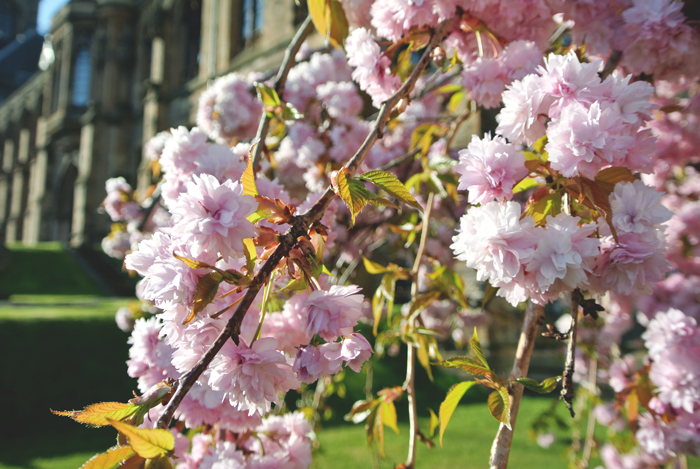 Blossom outside the University of Glasgow