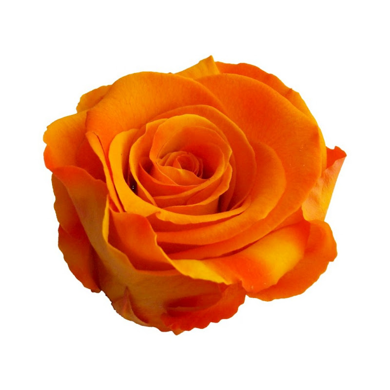 El significado de las rosas - Significado colores de las rosas ...