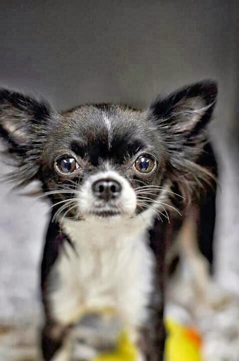 Chihuahua Dog History