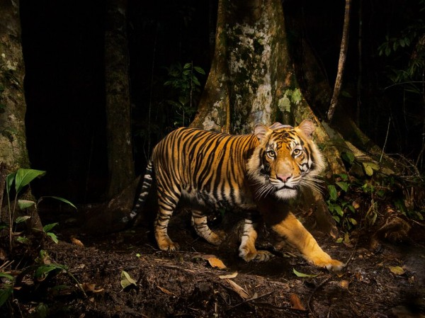Tiger, Indonesia
