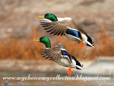 color ful Ducks