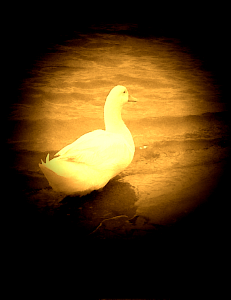 Becko the duck