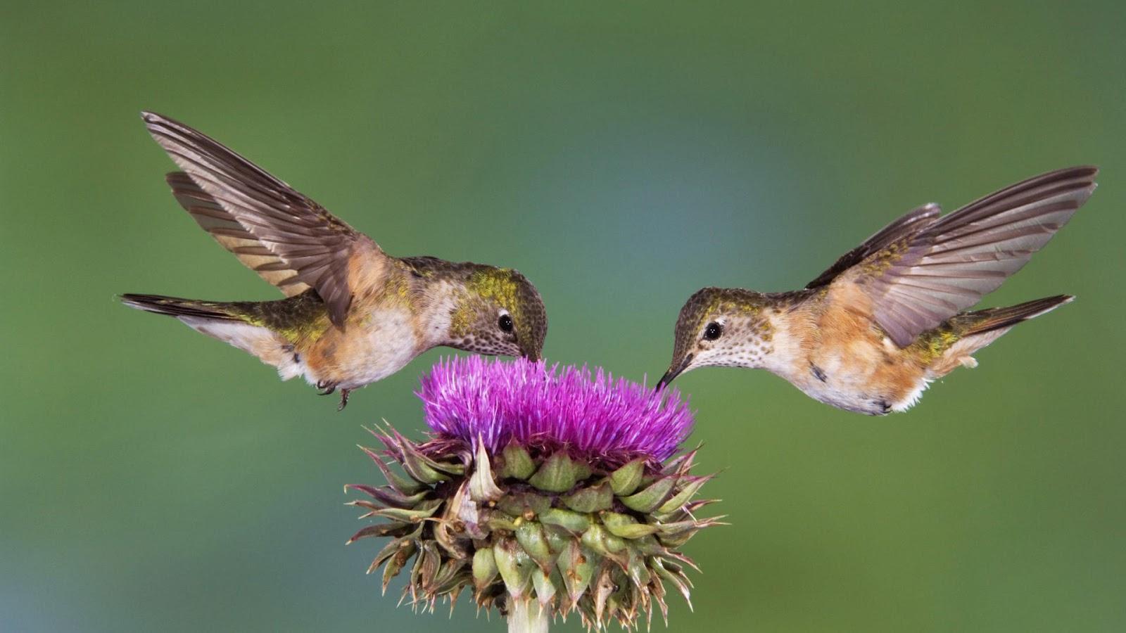 http://2.bp.blogspot.com/-k9ixqLHIh9Q/UCJOnkuexTI/AAAAAAAAAFE/sYtqNFgrIJI/s1600/bird-wallpaper-with-two-bird-eating-from-a-flower-flying-birds-wallpapers.jpg