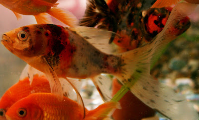 Male Shubunkin Goldfish