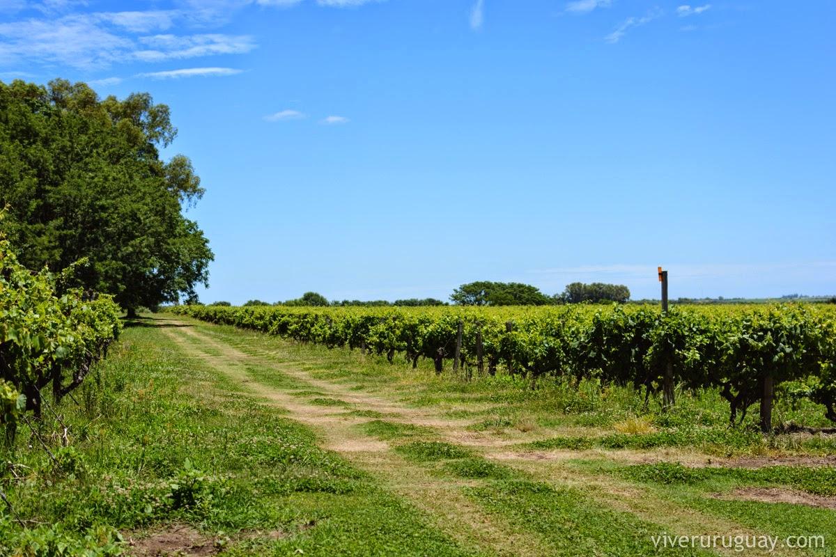 Enoturismo no Uruguai Vinicola Cordano