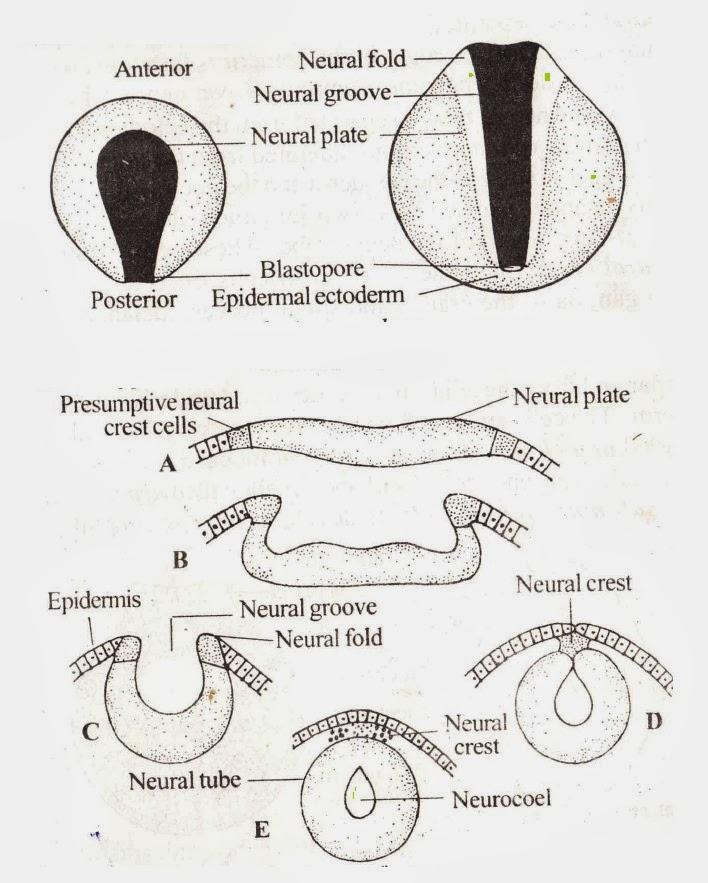 biology learnspot embryology of frogdevelopment of