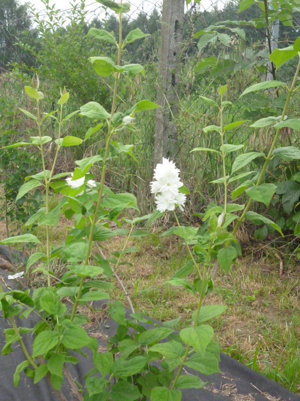 L 39 orto e altri maestri siepe mista primi fiori for Fiori bianchi profumati a grappolo