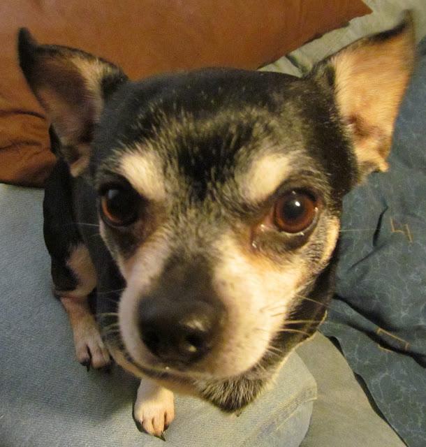 Lenny the Chihuahua: Closeup