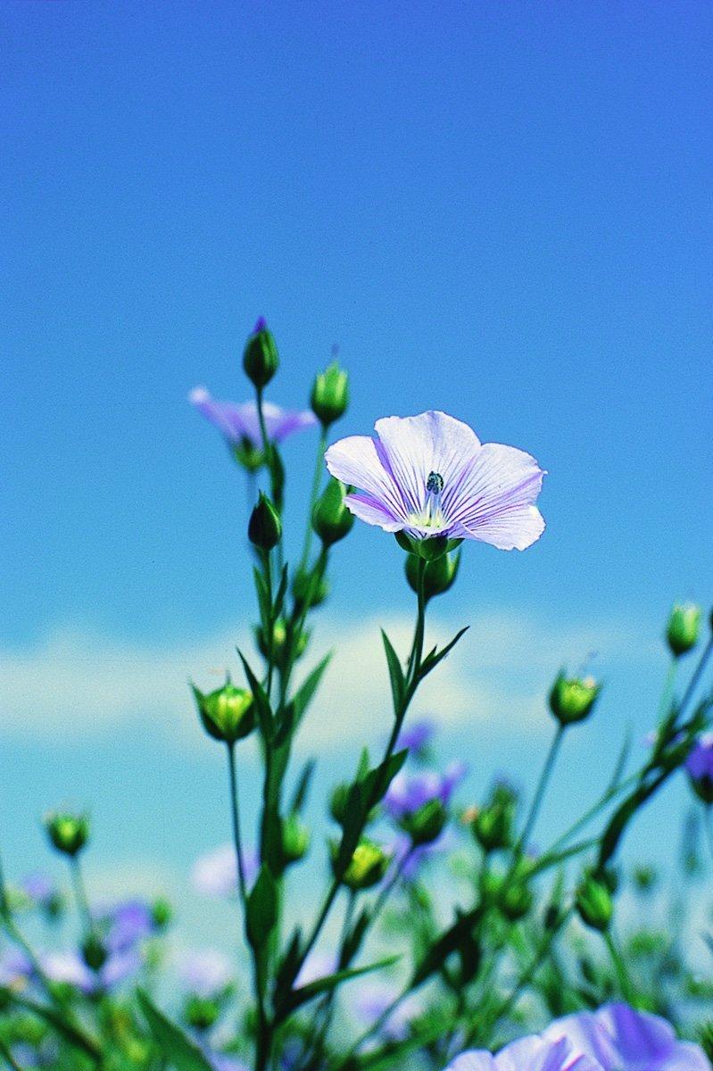 violet flax flower