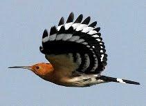Burung Hud-hud (Hoopoe) terbang