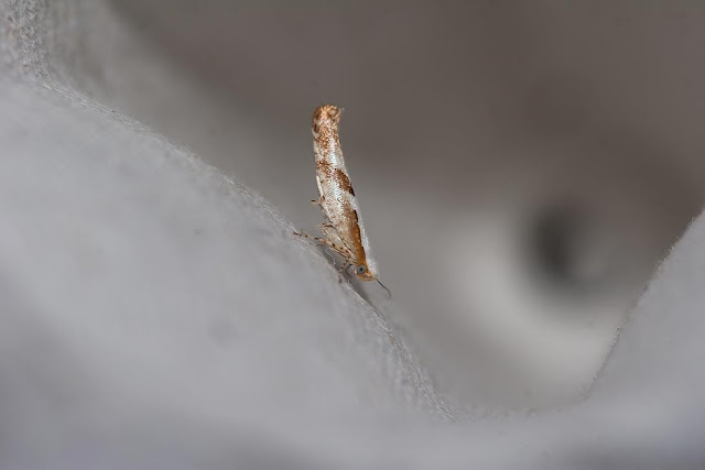 Argyresthia pruniella - Cherry Fruit Moth