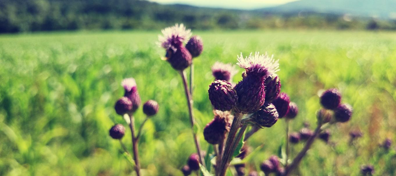 Polne kwiaty, oset, Przełęcz Tąpadła, widok na góry sowie