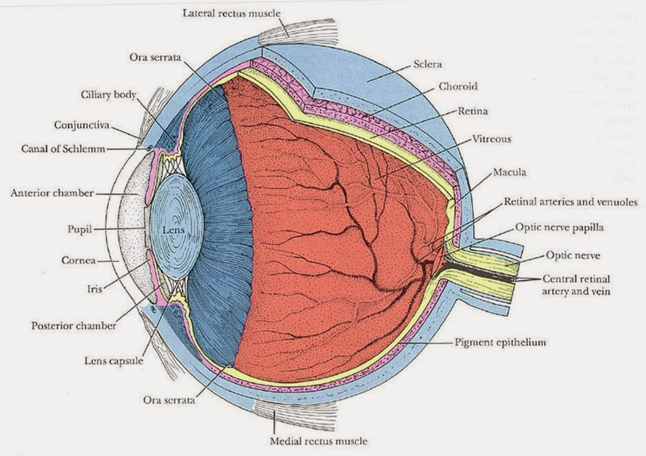 Eye Opener: Anatomy - Eyeball