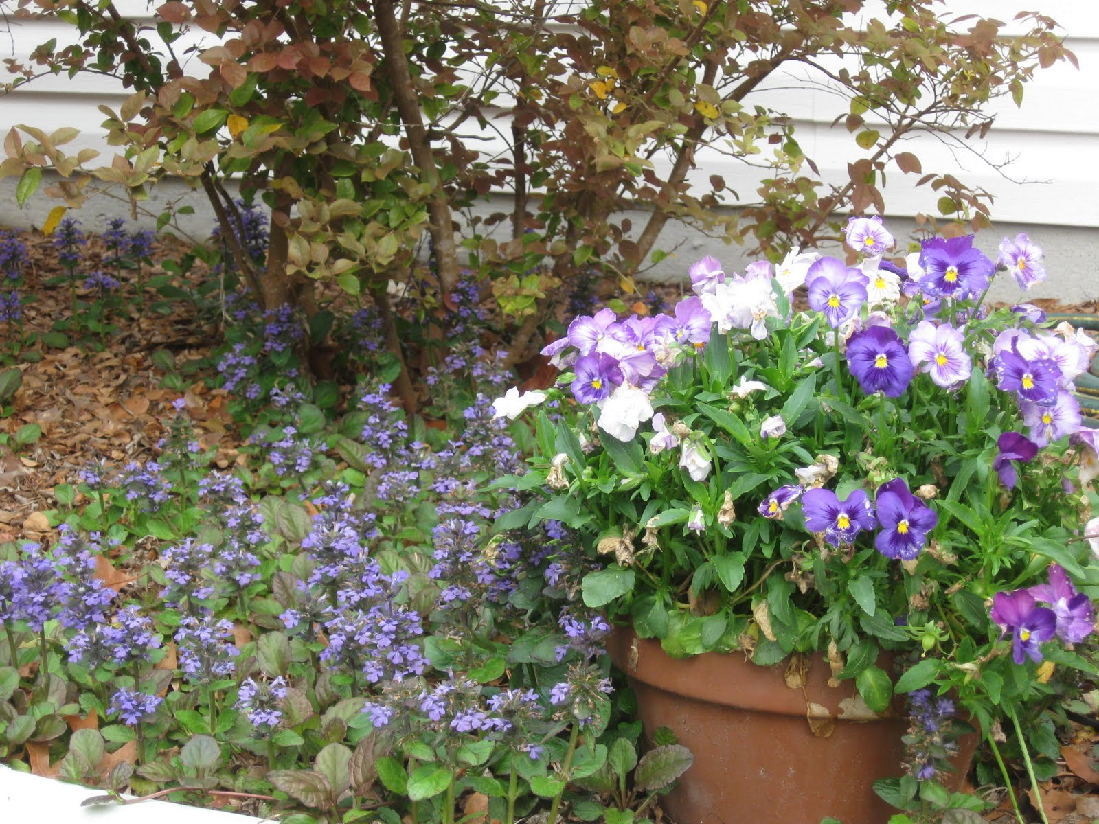Blue lyme grass blue dune - And Shades Of Blue Pansies