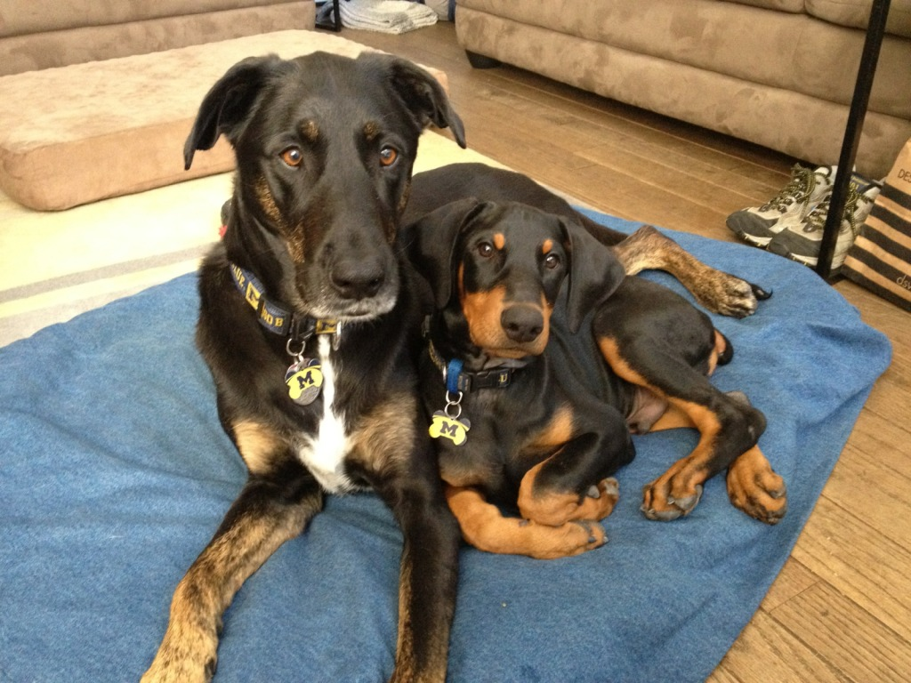 Coonhound Doberman Mix for Pinterest