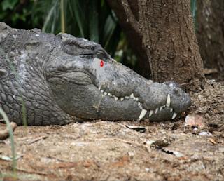 Dilma, Mãe do petrolão chorando lagrimas de crocodilo do PT que assaltou o Brasil