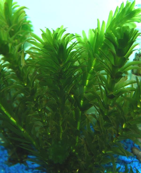 Other popular aquarium plants are::