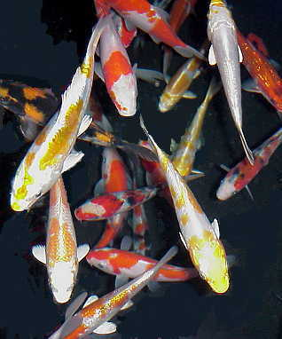 Popular discussions longest living creatures in the world for Koi fish near me