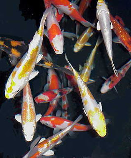Popular discussions longest living creatures in the world for Ang pow koi fish tutorial