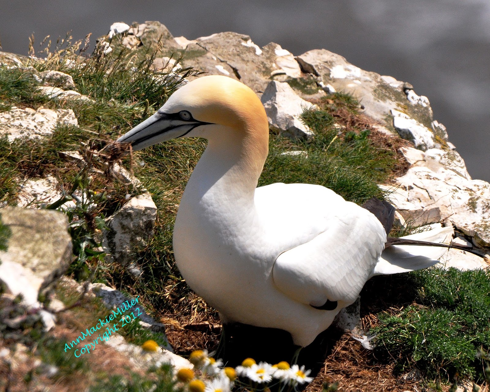 Gannet collecting grass to freshen their nest