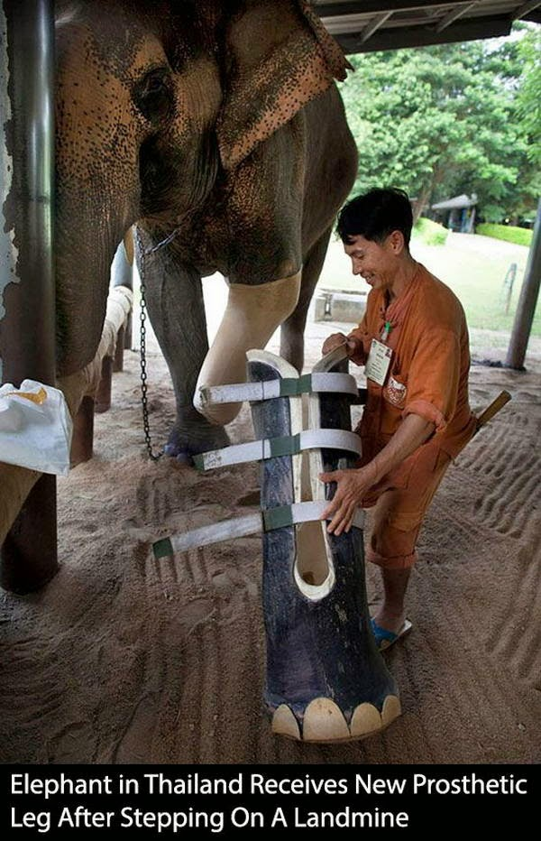 People doing amazing things for animals (28 pics), elephant in Thailand gets new prosthetic leg after stepping on a landmine