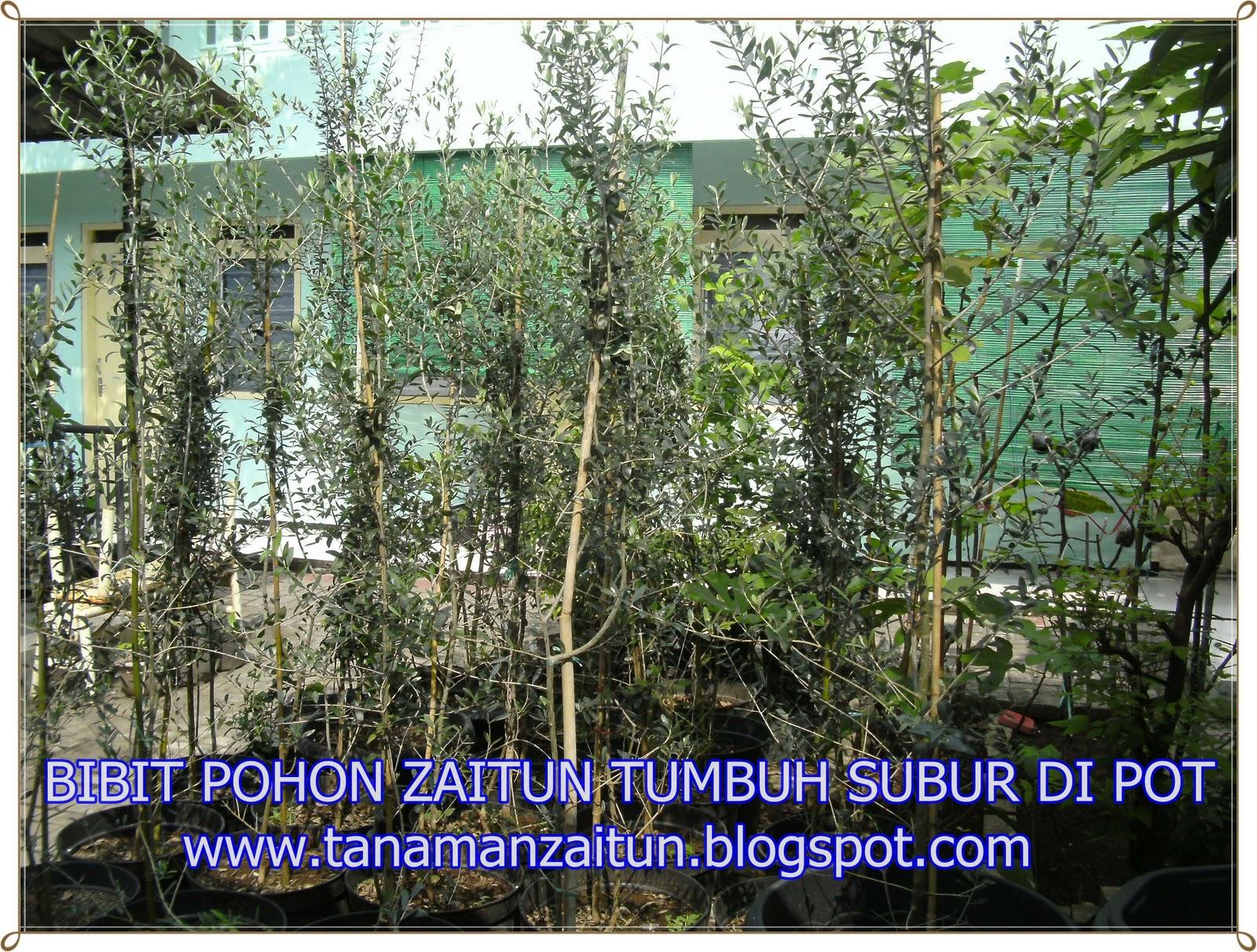 Menyediakan bibit pohon zaitun pohon tin ara pohon langka dan unik
