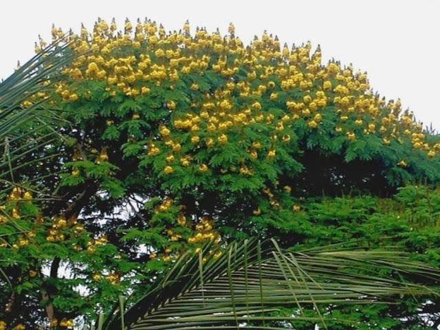Sibipiruna verde e amarelo - cores da bandeira do Brasil.