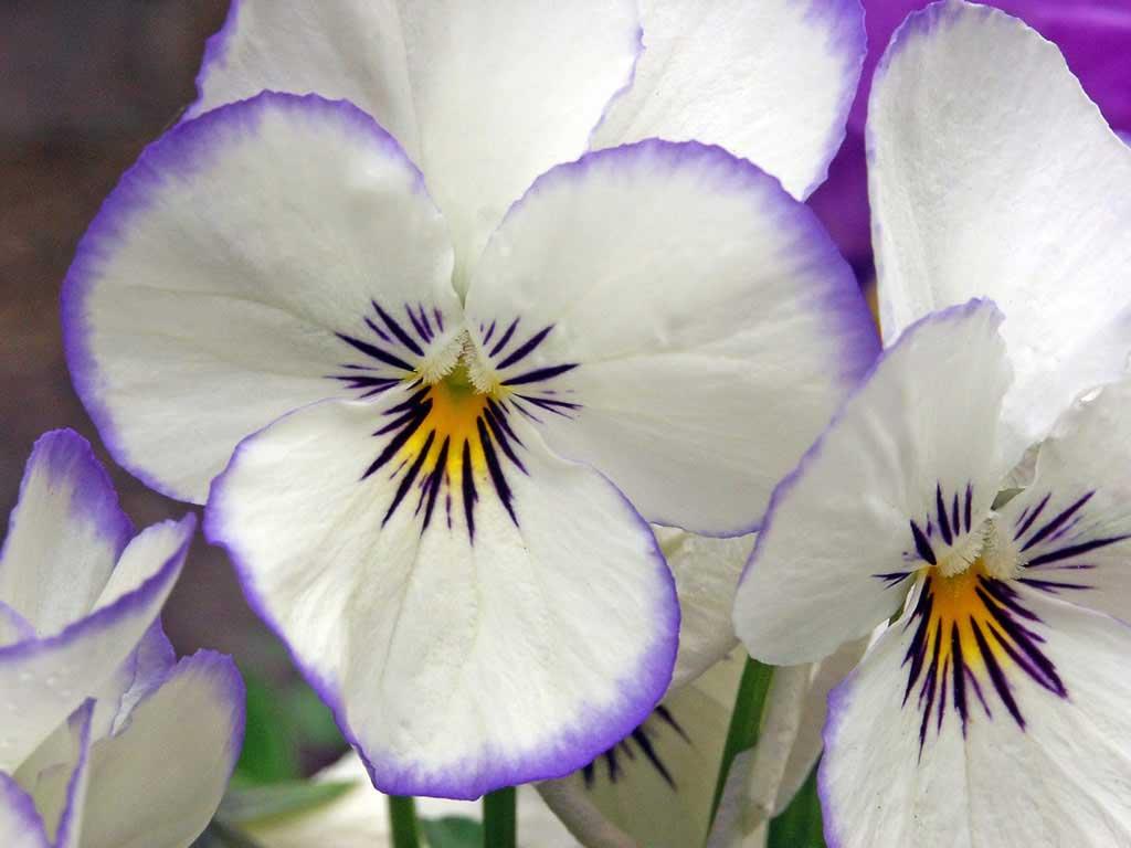 http://2.bp.blogspot.com/-kDNGUf44TBo/TdoJSGfbq6I/AAAAAAAADsw/2hrFIZDkSE0/s1600/pansy-flower-desktop-computer-wallpaper.jpg