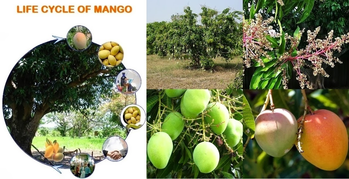 Mango Orchard for Business