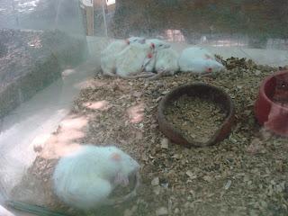 sleeping white mice in Zoobic safari