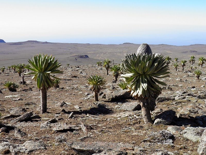 Bale Mountains Lobelia