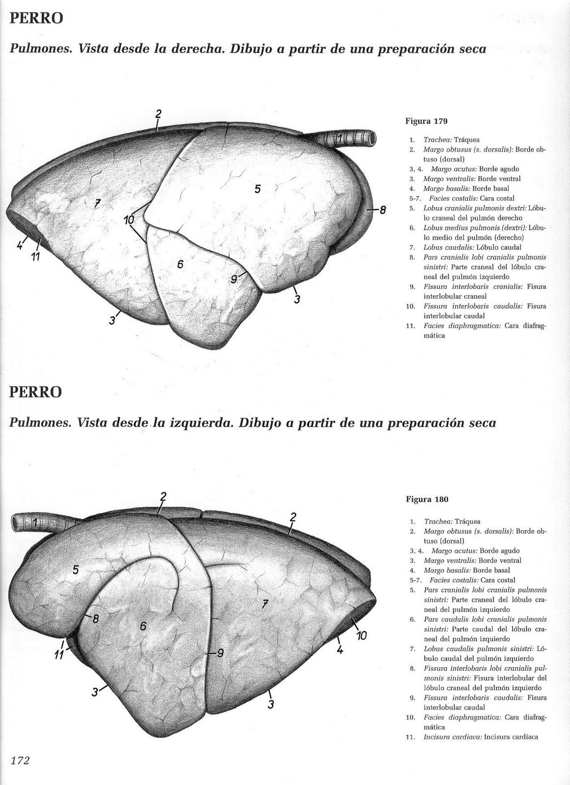 Bonito Sistema Respiratorio Pulmones Anatomía Colección de Imágenes ...