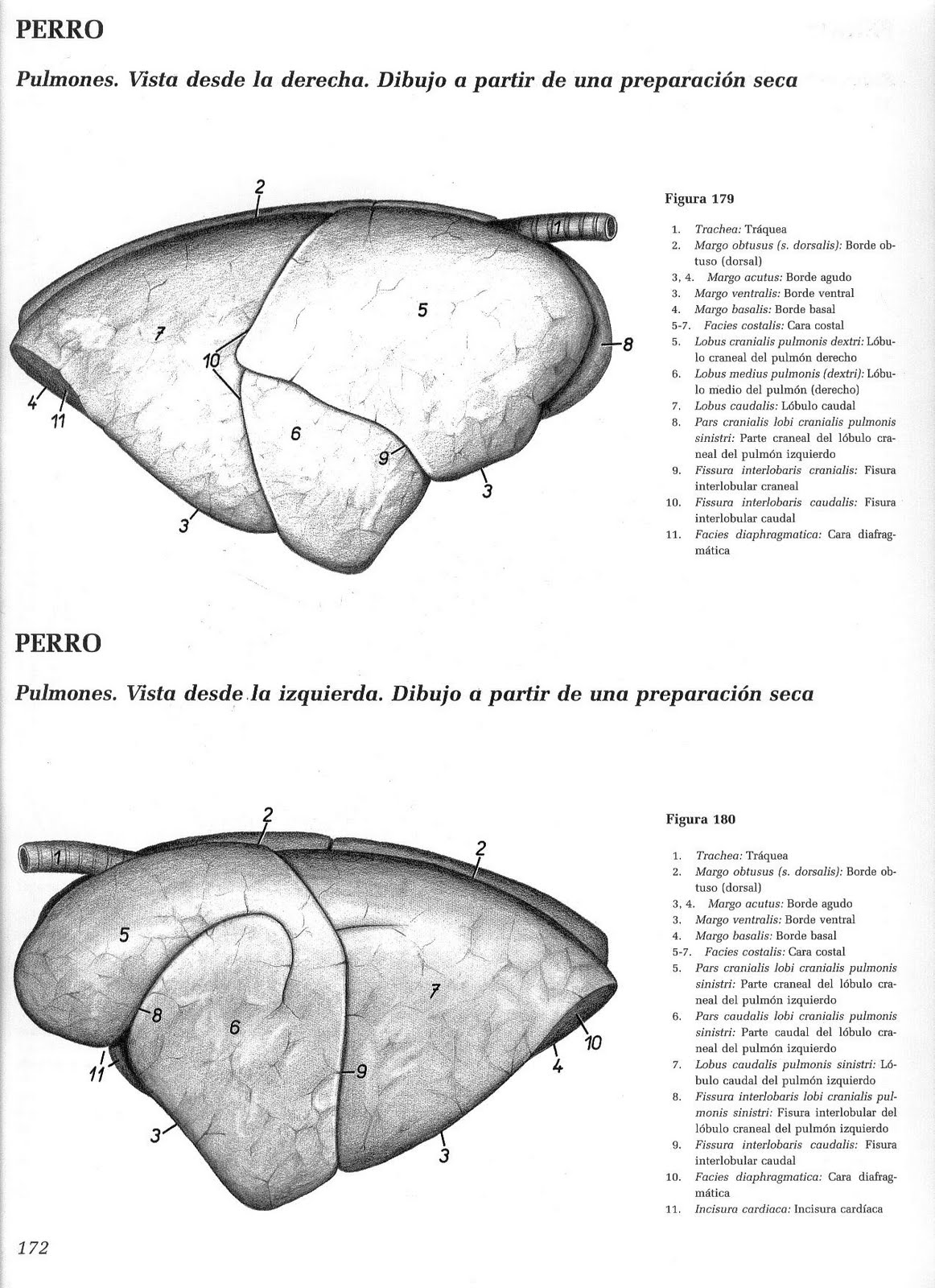 Anatomia veterinaria: material 2011 - Sistema respiratorio canino