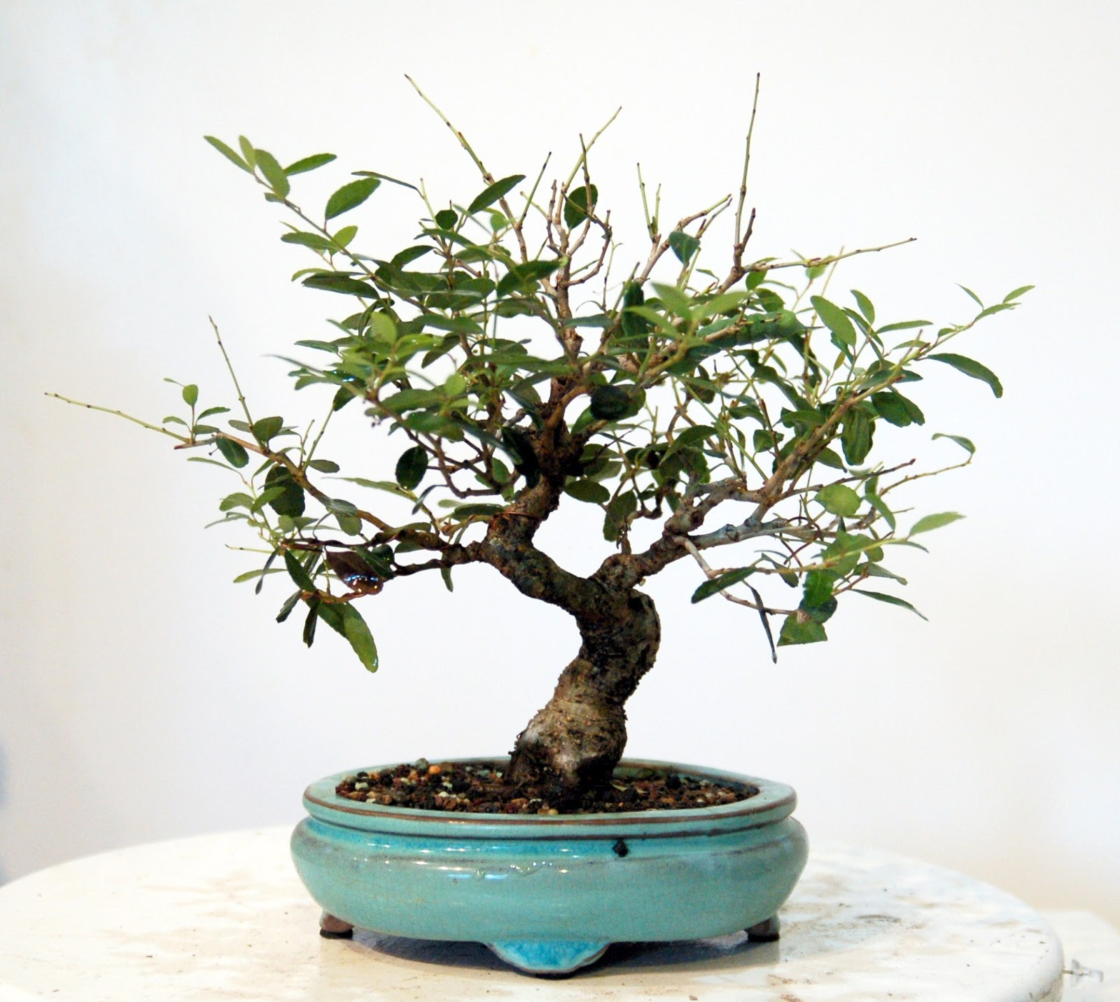 Heart Of Texas Bonsai Dwarf Yaupon Holly 10 Stop Chewing My Tree