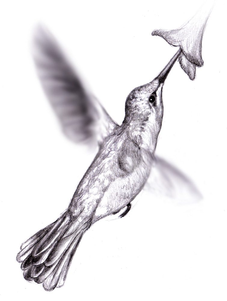 Realistic Hummingbird Drawings | www.imgkid.com - The ...