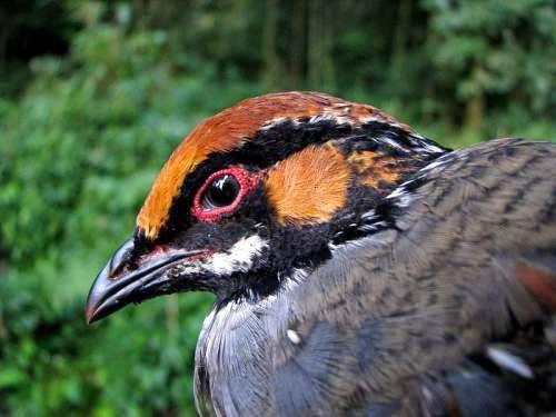 Indian bird - Hill partridge - Arborophila torqueola