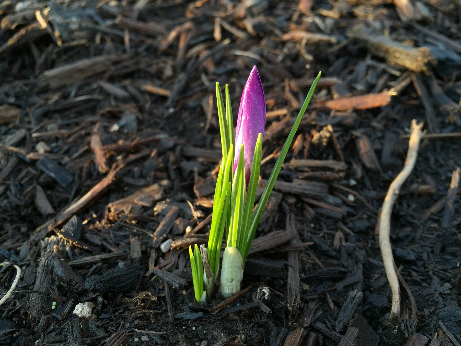 first crocus of spring