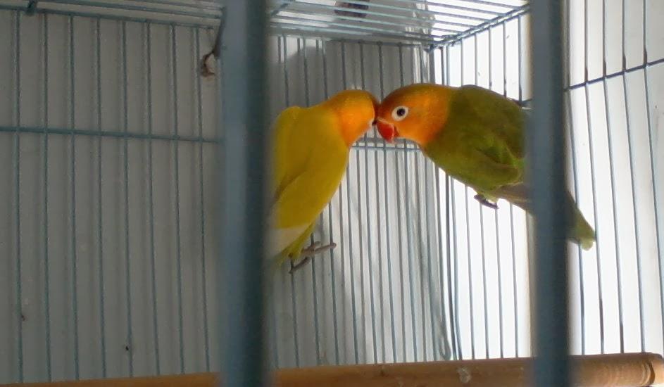 Burung Love Bird Jenis Dakocan Dan Pastel | The Temple Pub