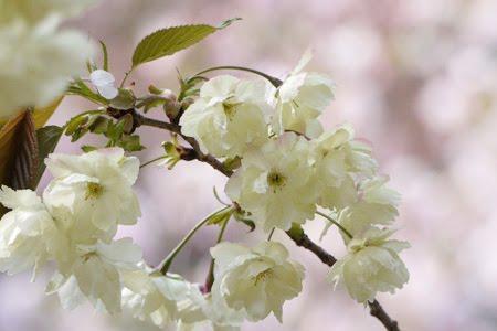 鬱金(桜)