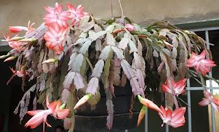 Cactos Flor de Maio