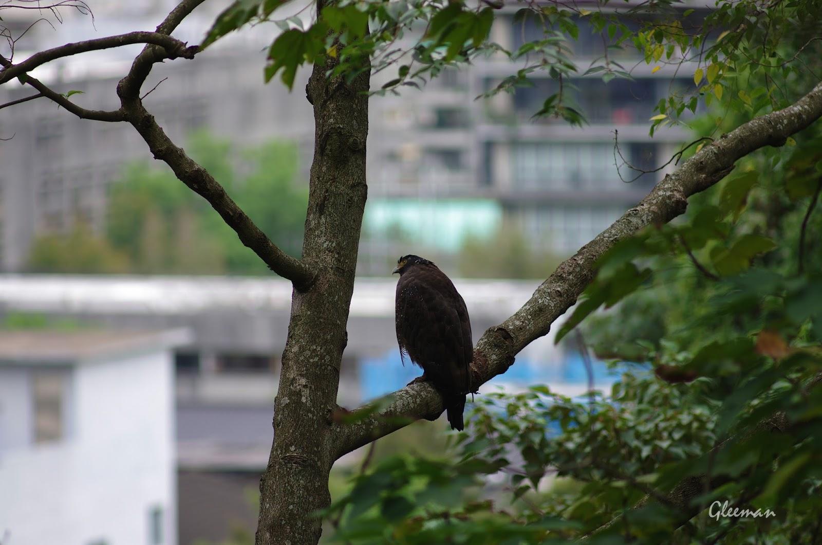 老朋友阿鷲。大冠鷲。