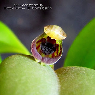Acianthera sp. do blogdabeteorquideas