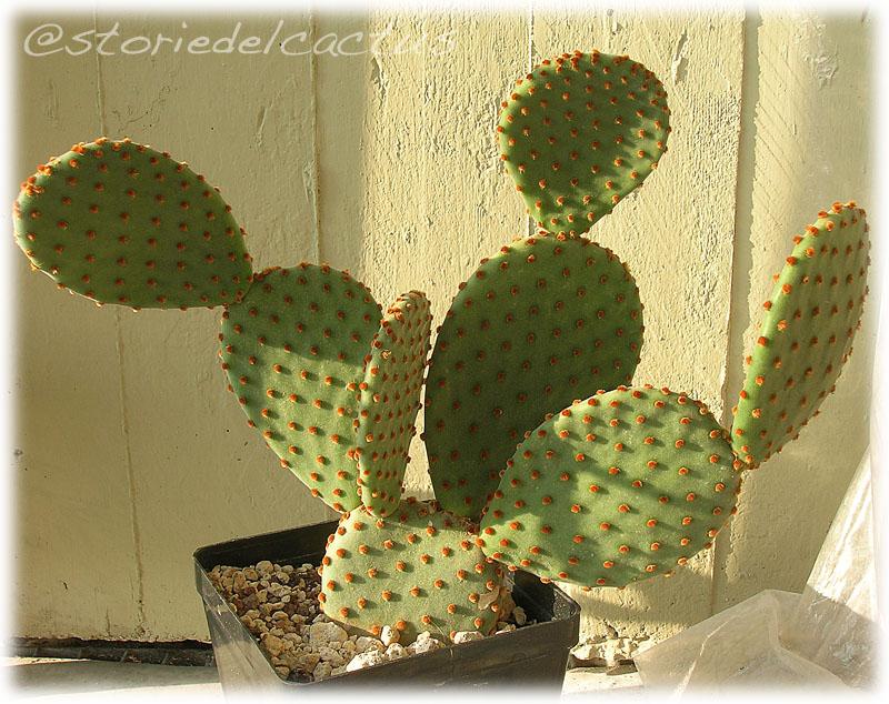 storie del cactus piante grasse resistenti al freddo