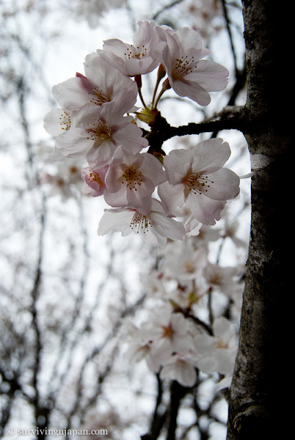 sakura, cherry blossom, Japan