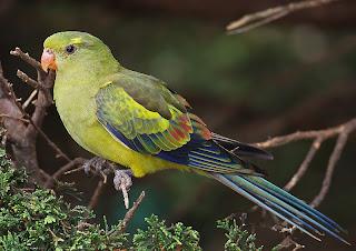 Regente Parrot
