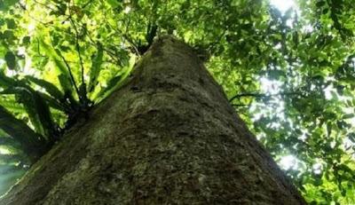 Pohon Terbesar Dunia Ada di Kutai Timur
