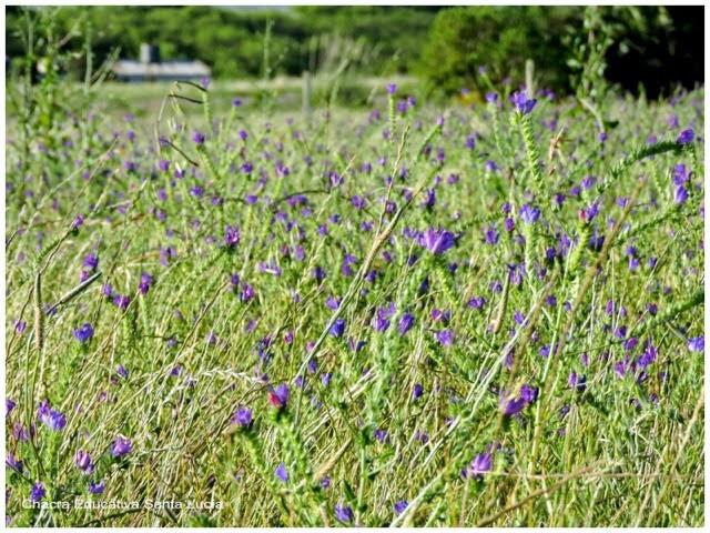 Flores en la pradera - Chacra Educativa Santa Lucía