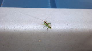 grasshopper with red stripe on back