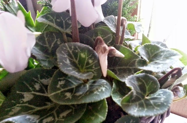 White Cyclamen close up buds ready to flower