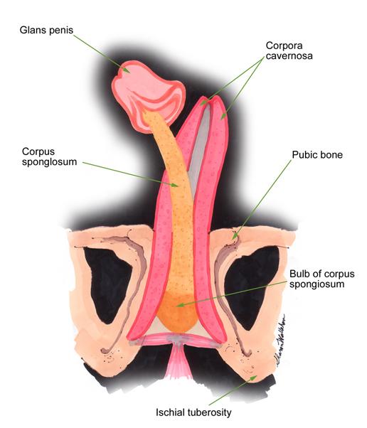 Male Urinary Organ Anatomy Author Patrick Joseph Fox Jr Md